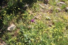 Flores hermosas en Israel Mount Gilboa Carmel Imagen de archivo libre de regalías