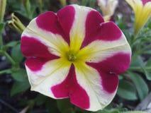 Flores hermosas en la estación de verano en casa, jardines y parques imagen de archivo libre de regalías