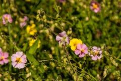 Flores hermosas en las cuales la abeja se sienta Foto de archivo