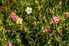 Flores hermosas en las cuales la abeja se sienta Imagenes de archivo