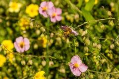 Flores hermosas en las cuales la abeja se sienta Imagen de archivo libre de regalías
