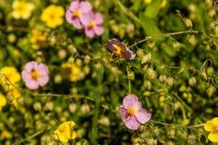 Flores hermosas en las cuales la abeja se sienta Foto de archivo libre de regalías