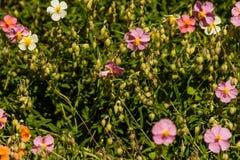 Flores hermosas en las cuales la abeja se sienta Imágenes de archivo libres de regalías