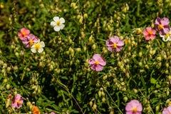 Flores hermosas en las cuales la abeja se sienta Fotografía de archivo