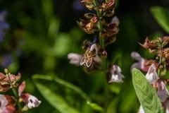 Flores hermosas en las cuales la abeja se sienta Imagen de archivo