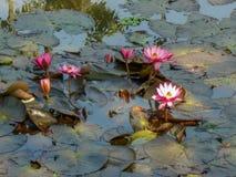 Flores hermosas en una charca Imagen de archivo libre de regalías