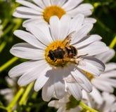 Flores hermosas grandes de la margarita blanca con una abeja Imagenes de archivo