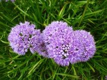 Flores hermosas, milenio del allium Fotografía de archivo