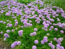Flores hermosas, milenio del allium Fotografía de archivo libre de regalías
