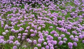 Flores hermosas, milenio del allium Imagen de archivo libre de regalías