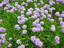 Flores hermosas, milenio del allium Imagenes de archivo