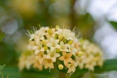 Flores hermosas o Fagraea Fragrans de la planta, de Kan Krao de Tembusu fotografía de archivo