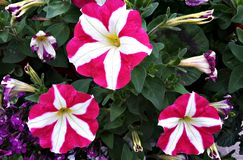 Flores hermosas, petunia Fotos de archivo