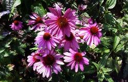 Flores hermosas, purpurea del Echinacea Foto de archivo