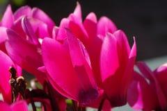 Flores hermosas rosadas en un pote Foto de archivo