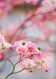 Flores hermosos del Dogwood con el copyspace Imágenes de archivo libres de regalías