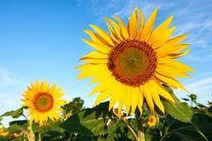 Flores hermosos del girasol Fotos de archivo