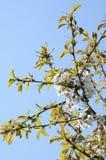 Flores herry del ¡de Ð Imagen de archivo