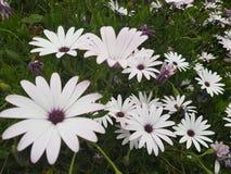 Flores, hierba, primavera, día soleado en Chipre, flores como margaritas imágenes de archivo libres de regalías