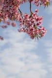 Flores Himalaias selvagens da cereja Foto de Stock Royalty Free