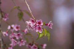 Flores Himalaias selvagens da cereja Imagens de Stock