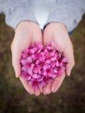 Flores Himalaias selvagens da cereja nas mãos da mulher Foto de Stock