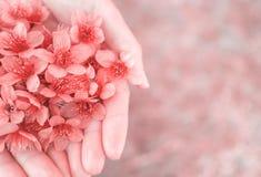 Flores Himalaias selvagens da cereja nas mãos da mulher Fotografia de Stock Royalty Free