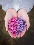 Flores Himalaias selvagens da cereja nas mãos da mulher Foto de Stock Royalty Free