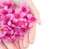 Flores Himalaias selvagens da cereja nas mãos da mulher Imagem de Stock Royalty Free