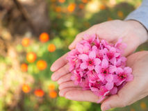 Flores Himalaias selvagens da cereja nas mãos da mulher Imagens de Stock