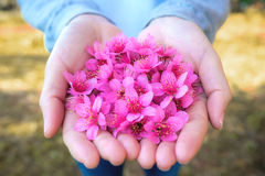 Flores Himalaias selvagens da cereja nas mãos da mulher Imagem de Stock