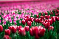 Flores holandesas fotos de archivo