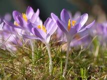 Flores holandesas del azafrán del resorte Fotos de archivo libres de regalías