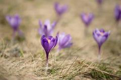 Flores holandesas do açafrão da mola Imagem de Stock