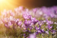 Flores holandesas do açafrão da mola Imagem de Stock Royalty Free