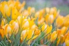 Flores holandesas do açafrão da mola Imagens de Stock