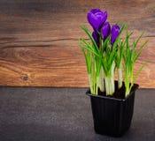 Flores holandesas do açafrão da mola Foto de Stock
