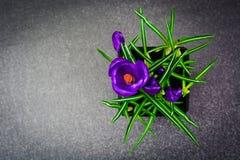 Flores holandesas do açafrão da mola Fotografia de Stock Royalty Free