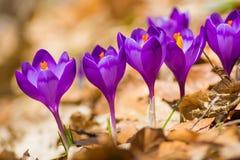 Flores holandesas do açafrão da mola Imagens de Stock Royalty Free