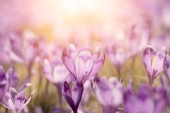 Flores holandesas do açafrão da mola Foto de Stock Royalty Free