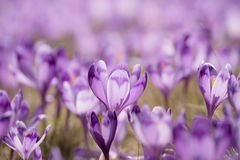 Flores holandesas do açafrão da mola Fotografia de Stock