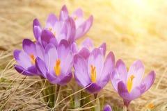 Flores holandesas do açafrão da mola Fotos de Stock