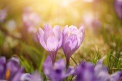 Flores holandesas do açafrão da mola Fotos de Stock Royalty Free