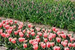 Flores holandesas hermosas del tulipán en campo Imagen de archivo