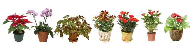 Flores home em uns potenciômetros no fundo branco Fotografia de Stock Royalty Free