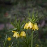 Flores imperiais amarelas da coroa (imperialis do Fritillaria) Fotografia de Stock