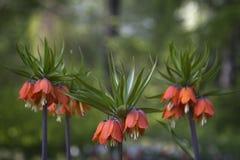 Flores imperiales anaranjadas de corona (imperialis del Fritillaria) foto de archivo