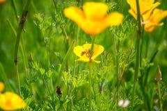Flores imponentes del amarillo del ranúnculo del californica de Eschscholzia (C Foto de archivo libre de regalías