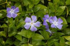 Flores importantes del Vinca Fotos de archivo