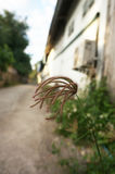Flores inchadas da erva daninha da grama de dedo Foto de Stock Royalty Free
